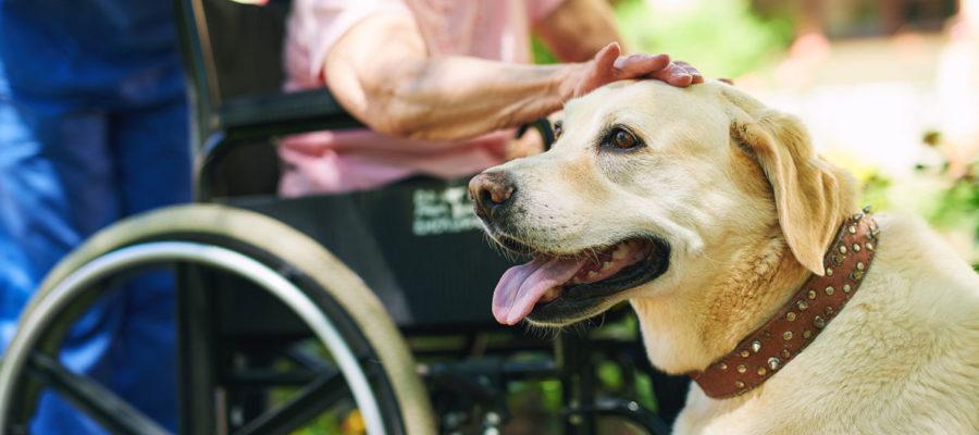 Kørestolsbruger med hjælpehund Foto: iStock
